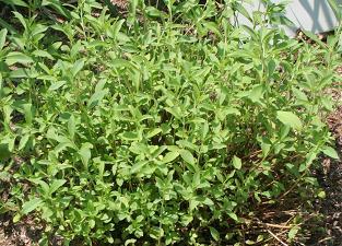 Stevia-Pflanze © Flickr / FrauBucher