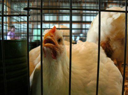 Unglückliche Hühner © Flickr / Benimoto