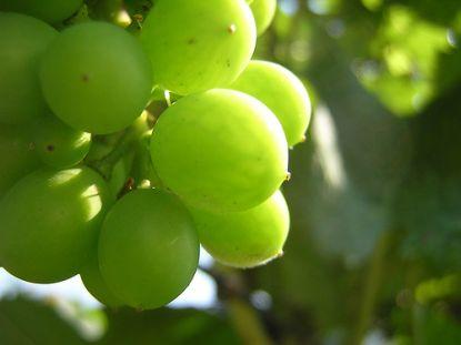 Grüne Weintrauben © Flickr / Francois Schnell