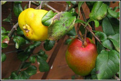 Quitten weisen eine gewisse Ähnlichkeit mit Äpfeln oder Birnen auf. © flickr / Dave-F almost retired