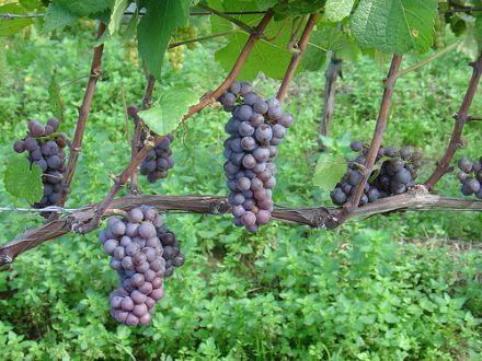 Weintrauben enthalten weniger Pestizide. © Flickr / ndrwfgg